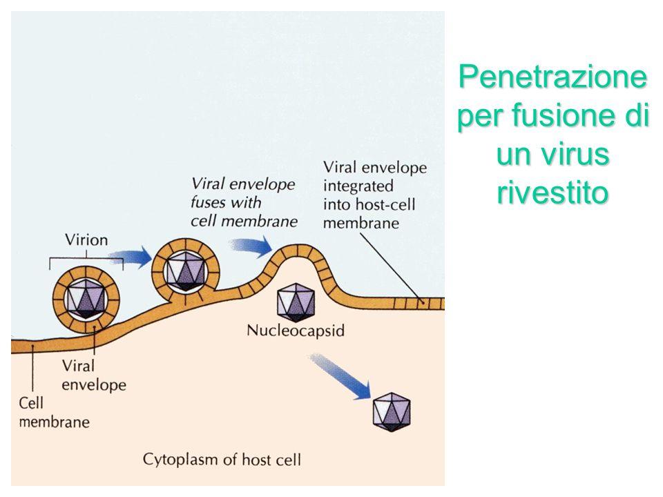Penetrazione per endocitosi di un virus nudo