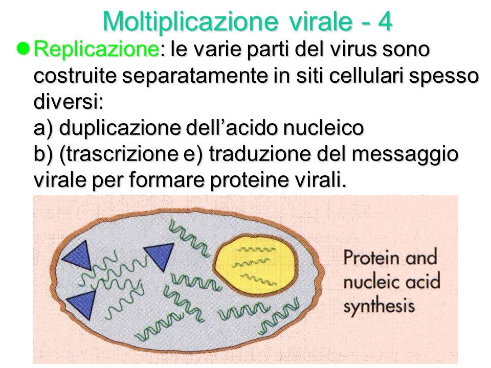lSpoliazione: rimozione del capside e liberazione citoplasmatica del genoma virale. Le proteine del capside vengono disgregate dagli enzimi idrolitici
