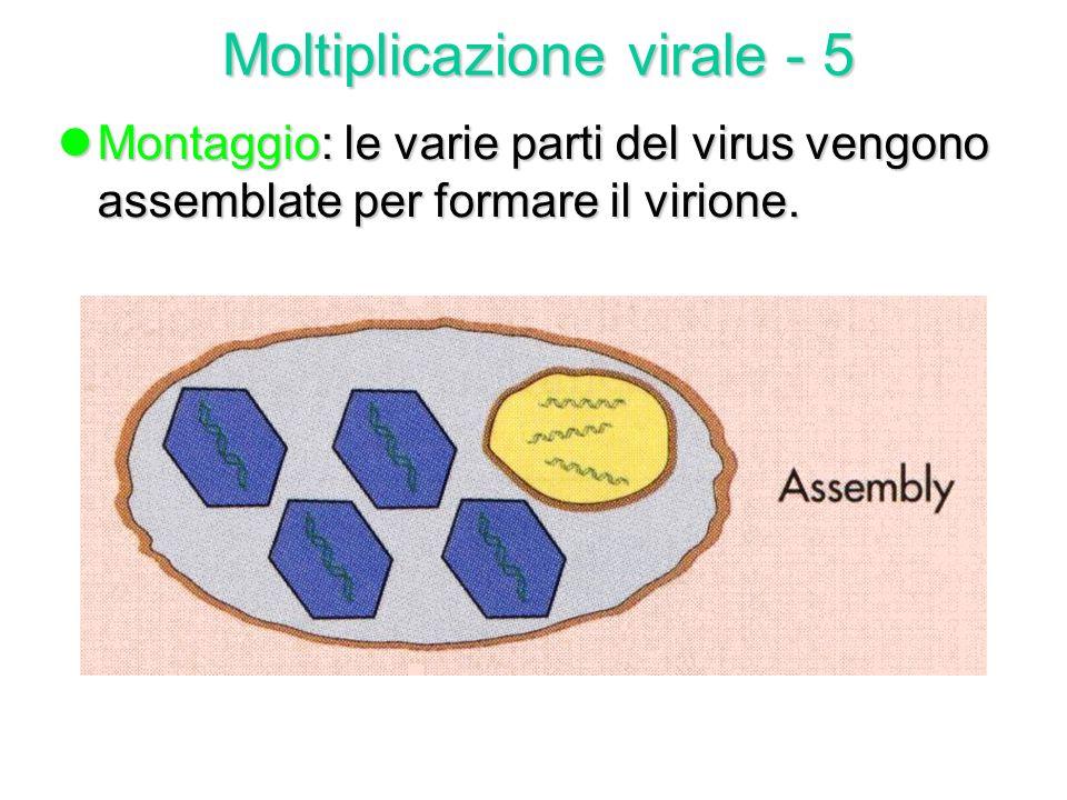 lReplicazione: le varie parti del virus sono costruite separatamente in siti cellulari spesso diversi: a) duplicazione dellacido nucleico a) duplicazi