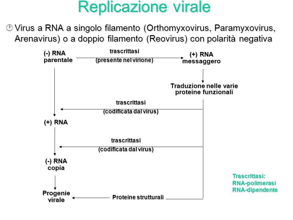 Replicazione virale ¶Virus a RNA a singolo filamento con polarità positiva* (Picornavirus, Togavirus) *stessa sequenza dell'mRNA cellulare Trascrittas