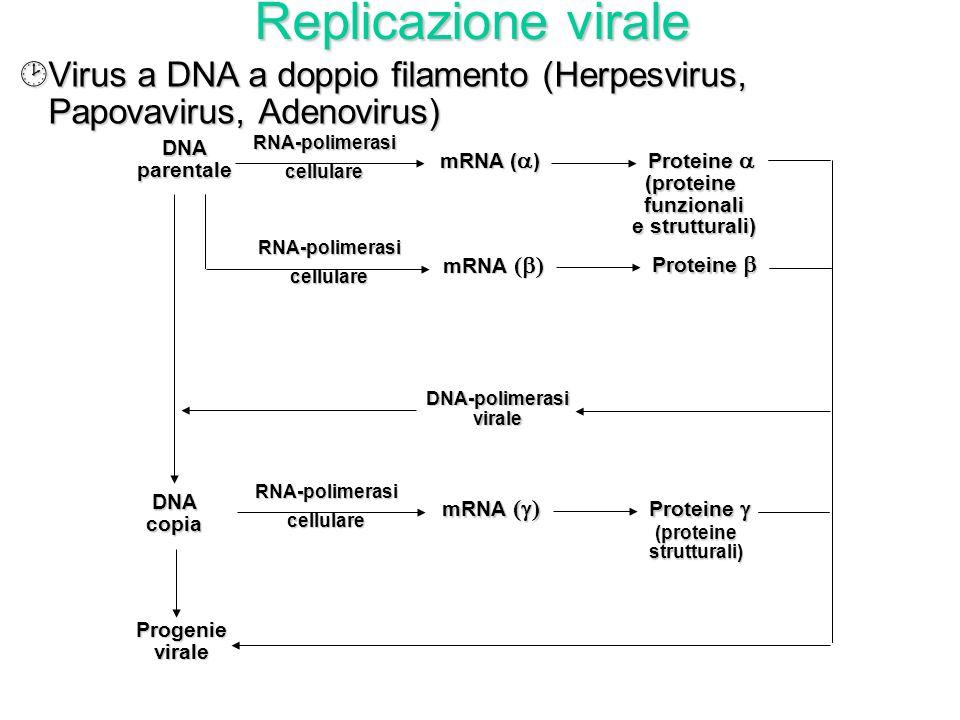 Replicazione virale ·Virus a RNA a singolo filamento (Orthomyxovirus, Paramyxovirus, Arenavirus) o a doppio filamento (Reovirus) con polarità negativa