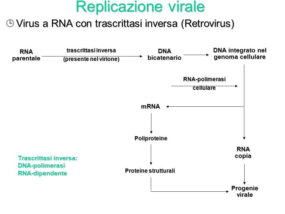 Replicazione virale ¸Virus a DNA a doppio filamento (Herpesvirus, Papovavirus, Adenovirus) DNAparentale DNAcopia Progenievirale DNA-polimerasiviraleRN