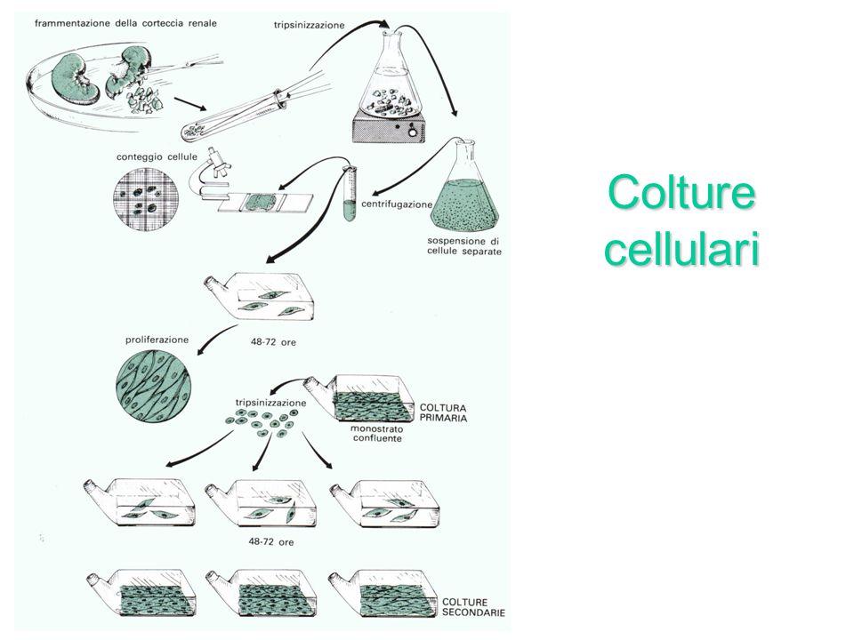 Coltivazione dei virus nelluovo embrionato di pollo