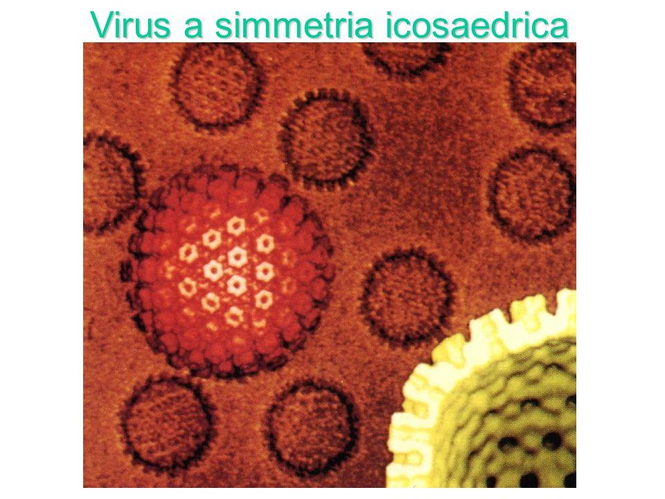 Virus a simmetria icosaedrica (Adenovirus)