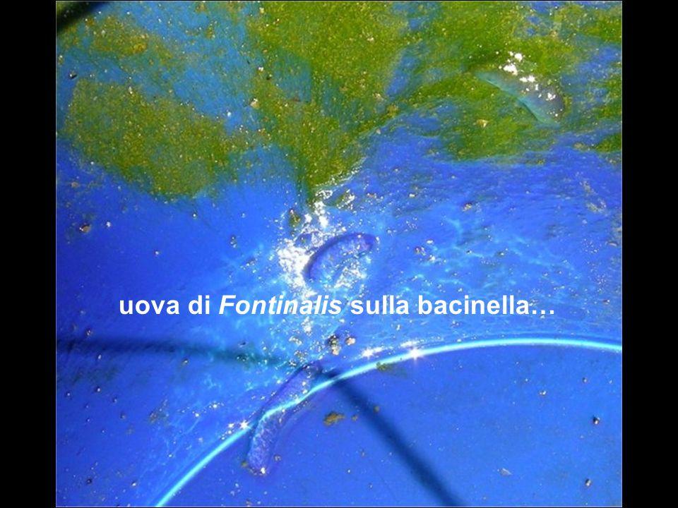 uova di Fontinalis sulla bacinella…