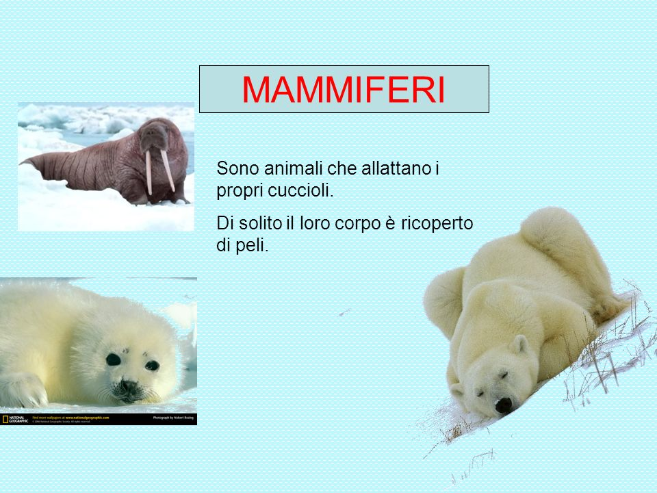 MAMMIFERI Sono animali che allattano i propri cuccioli. Di solito il loro corpo è ricoperto di peli.