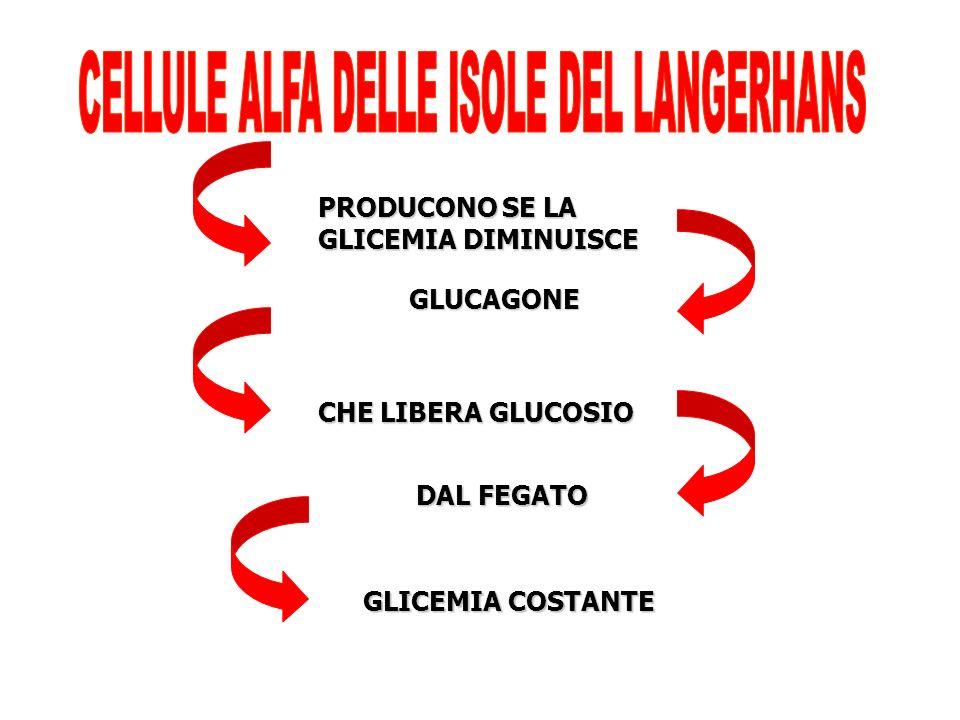PRODUCONO SE LA GLICEMIA DIMINUISCE GLUCAGONE CHE LIBERA GLUCOSIO DAL FEGATO GLICEMIA COSTANTE