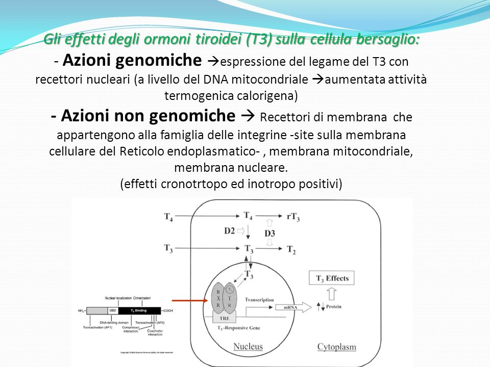Gli effetti degli ormoni tiroidei (T3) sulla cellula bersaglio: Gli effetti degli ormoni tiroidei (T3) sulla cellula bersaglio: - Azioni genomiche espressione del legame del T3 con recettori nucleari (a livello del DNA mitocondriale aumentata attività termogenica calorigena) - Azioni non genomiche Recettori di membrana che appartengono alla famiglia delle integrine -site sulla membrana cellulare del Reticolo endoplasmatico-, membrana mitocondriale, membrana nucleare.