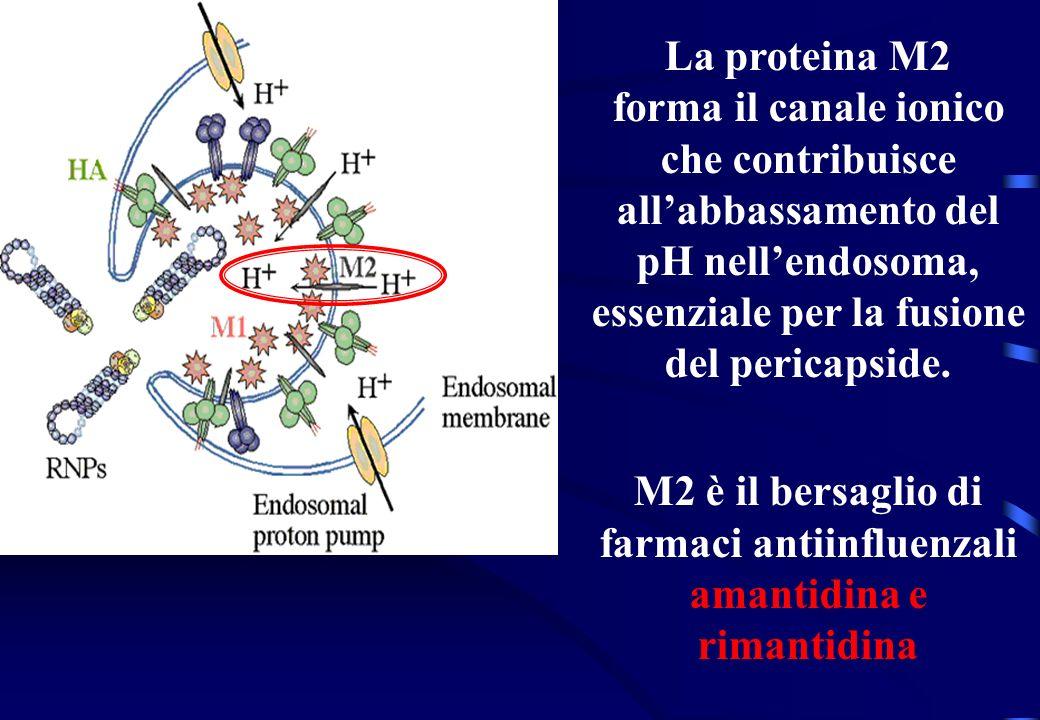 La proteina M2 forma il canale ionico che contribuisce allabbassamento del pH nellendosoma, essenziale per la fusione del pericapside. M2 è il bersagl