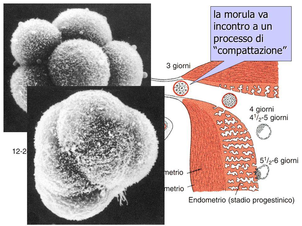 compattazione della morula la morula va incontro a un processo di compattazione