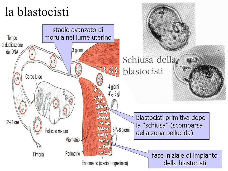 stadio avanzato di morula nel lume uterino blastocisti primitiva dopo la schiusa (scomparsa della zona pellucida) fase iniziale di impianto della blas