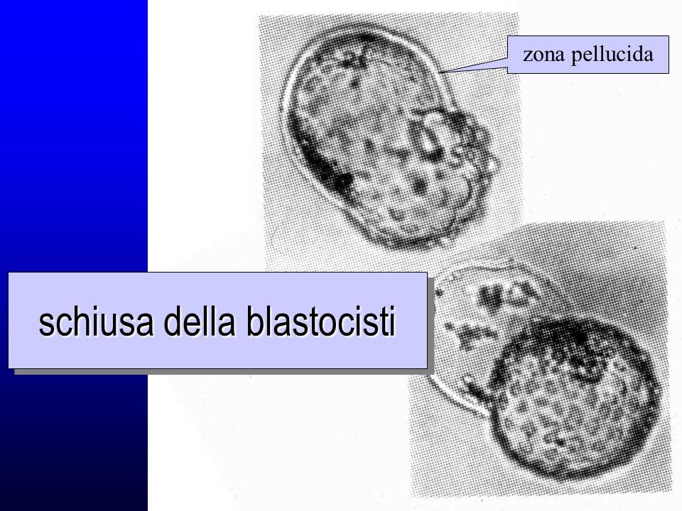 schiusa della blastocisti zona pellucida