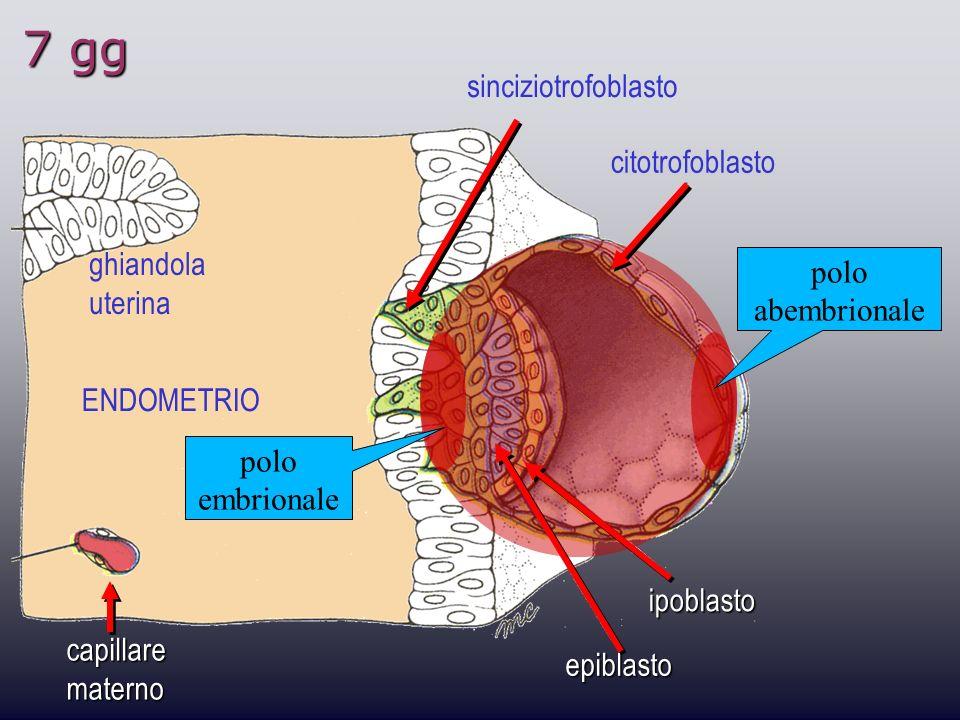 7 gg ghiandola uterina sinciziotrofoblasto citotrofoblasto ipoblasto epiblasto capillare materno polo embrionale polo abembrionale ENDOMETRIO