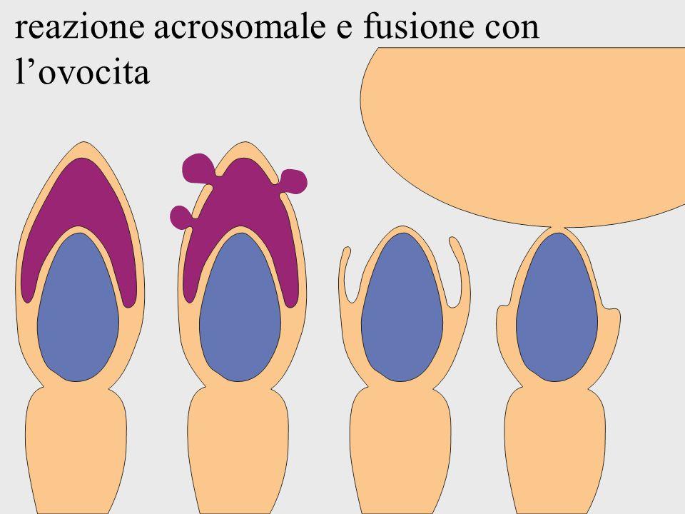 reazione acrosomale e fusione con lovocita