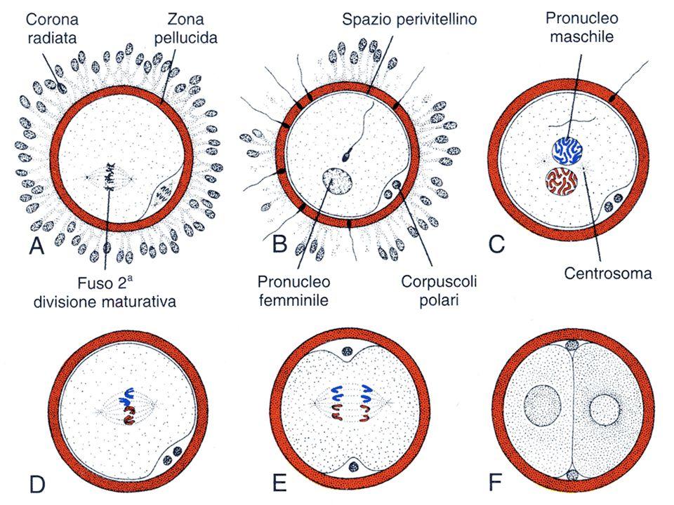 dallovulazione allimpianto tempi espressi a partire dallinizio del ciclo mestruale la segmentazione divide lo zigote in blastomeri