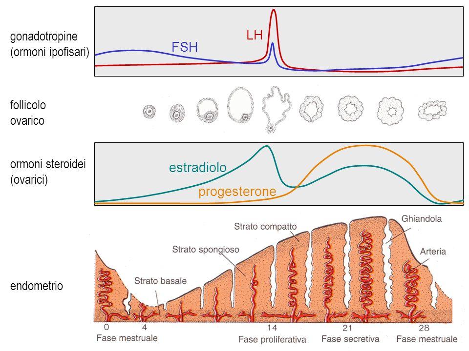 ciclo mestruale gonadotropine (ormoni ipofisari) follicolo ovarico ormoni steroidei (ovarici) endometrio FSH LH estradiolo progesterone