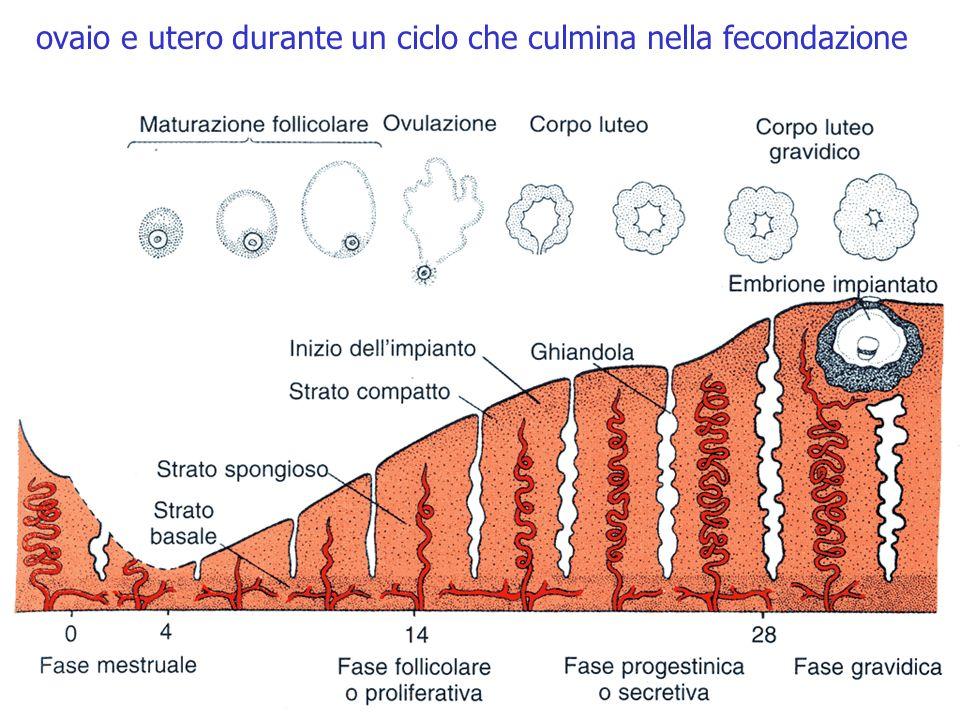 ovaio e utero durante un ciclo che culmina nella fecondazione estradiolo progesterone