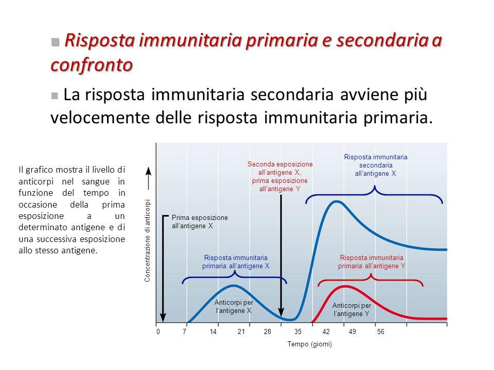 Seconda esposizione allantigene X, prima esposizione allantigene Y Prima esposizione allantigene X Risposta immunitaria primaria allantigene X Risposta immunitaria primaria allantigene Y Anticorpi per lantigene Y Anticorpi per lantigene X Concentrazione di anticorpi 0 7 14 21 28 35 42 49 56 Tempo (giorni) Risposta immunitaria secondaria allantigene X Risposta immunitaria primaria e secondaria a confronto Risposta immunitaria primaria e secondaria a confronto La risposta immunitaria secondaria avviene più velocemente delle risposta immunitaria primaria.