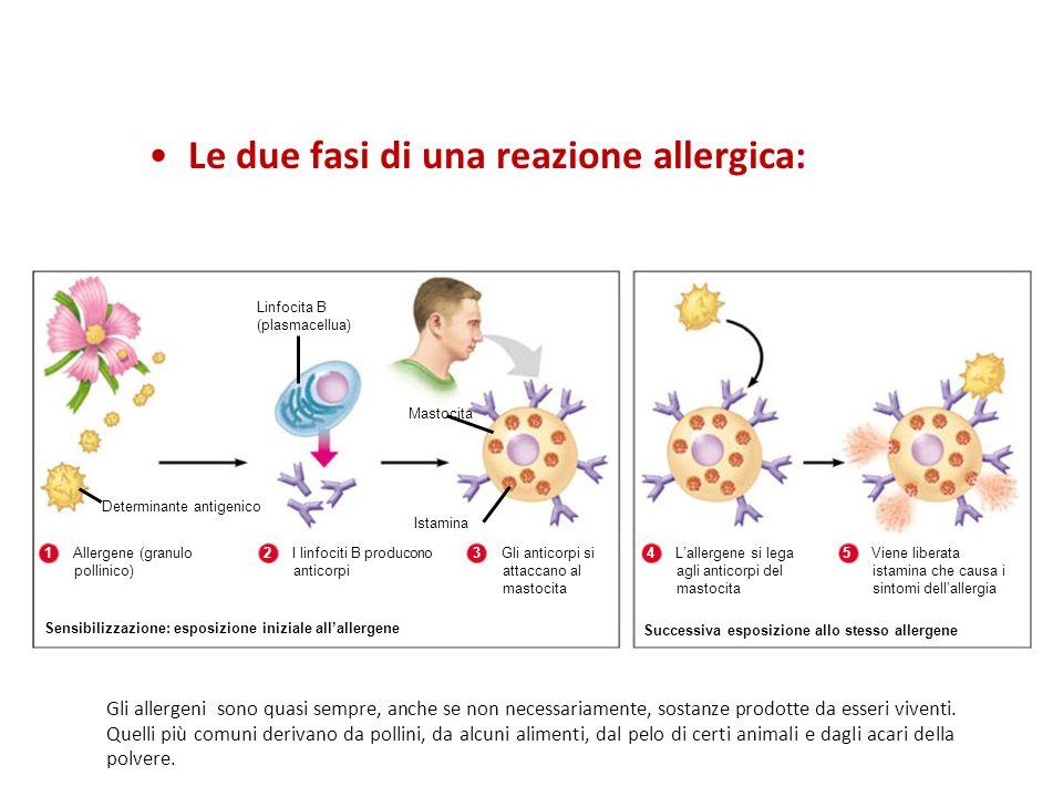 Linfocita B (plasmacellua) Determinante antigenico 1Allergene (granulo pollinico) 2I linfociti B producono anticorpi 3Gli anticorpi si attaccano al mastocita Sensibilizzazione: esposizione iniziale allallergene Mastocita Istamina 4Lallergene si lega agli anticorpi del mastocita 5Viene liberata istamina che causa i sintomi dellallergia Successiva esposizione allo stesso allergene Le due fasi di una reazione allergica: Gli allergeni sono quasi sempre, anche se non necessariamente, sostanze prodotte da esseri viventi.