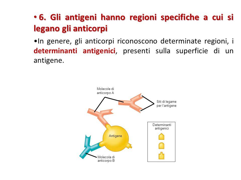 6.Gli antigeni hanno regioni specifiche a cui si legano gli anticorpi 6.