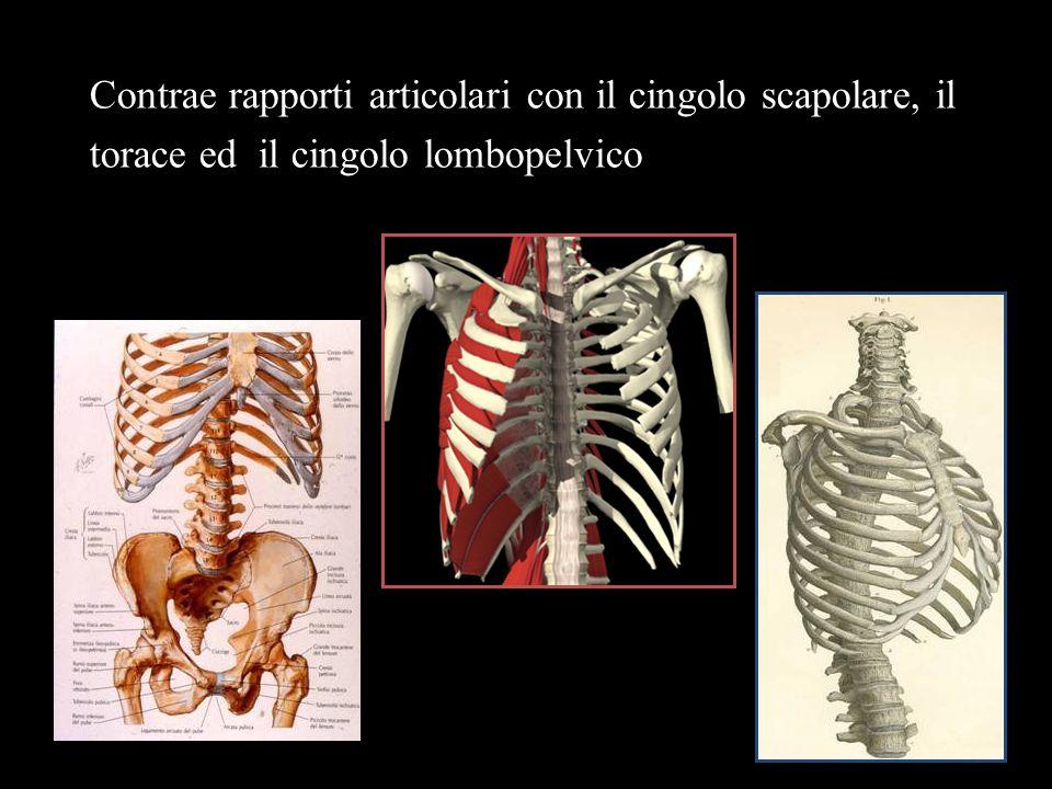Contrae rapporti articolari con il cingolo scapolare, il torace ed il cingolo lombopelvico