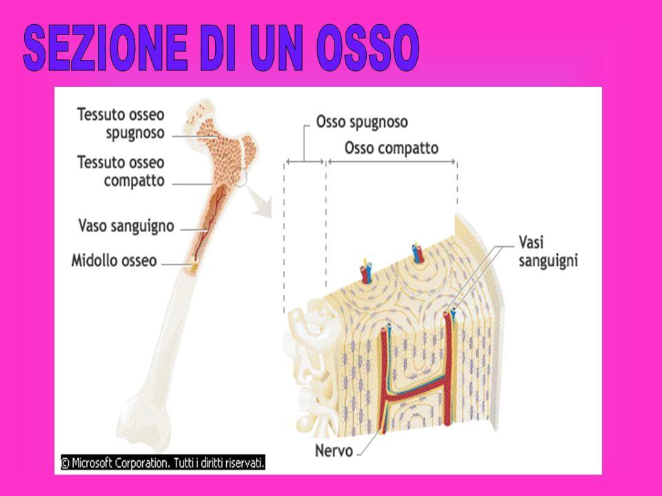 Le articolazioni mobili Le articolazioni mobili si trovano nel braccio.