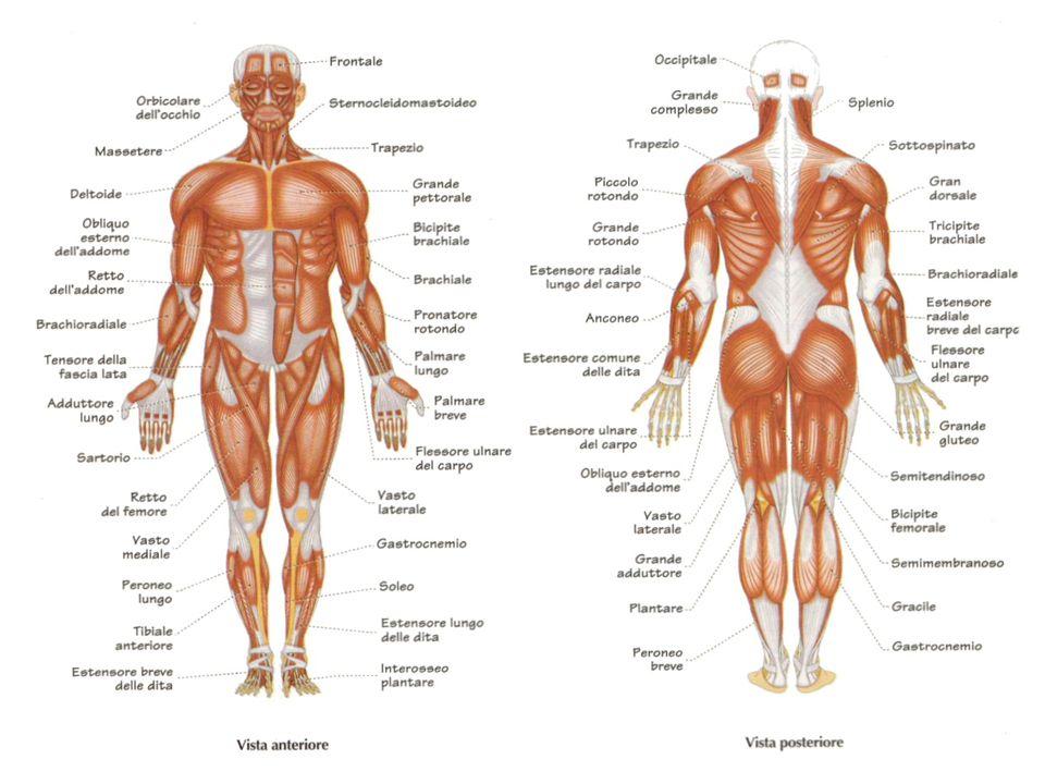 Muscolo liscio Il muscolo liscio permette i movimenti involontari cioè i movimenti che non dipendono dalla nostra volontà.