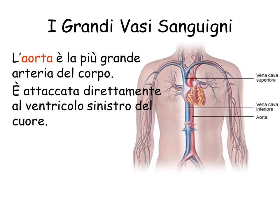 I Grandi Vasi Sanguigni Le due vene più grandi dellorganismo sono la vena cava inferiore e la vena cava superiore. Queste due vene svuotano il sangue