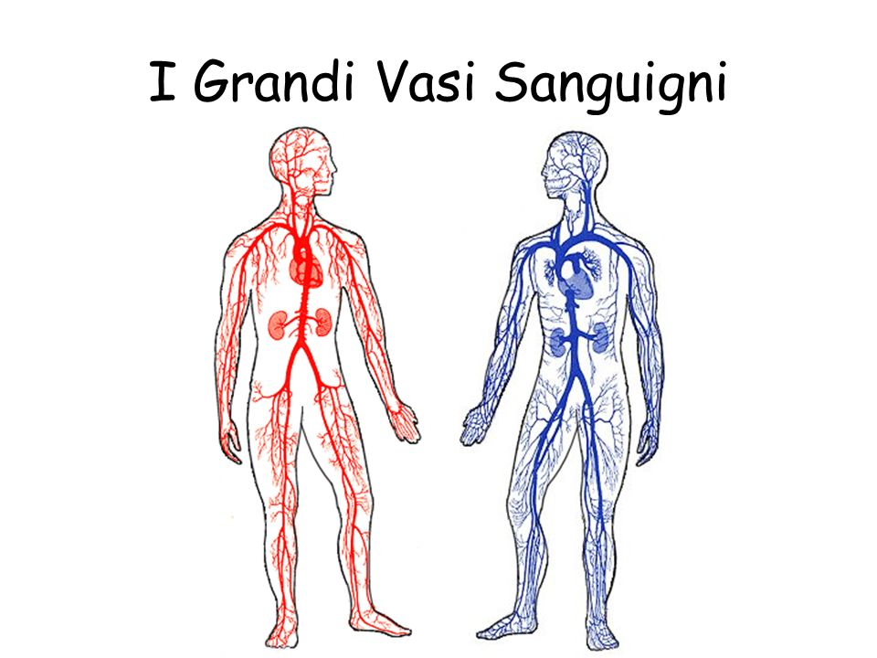 I Grandi Vasi Sanguigni Il ventricolo sinistro pompa il sangue dal cuore nellaorta passando attraverso la valvola aortica. Tutte le altre arterie prin