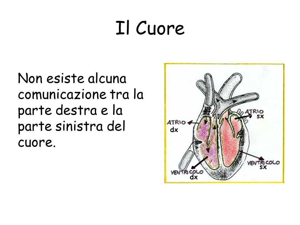 Il Cuore Le cavità destre comunicano tra loro formando il cuore destro così come comunicano le due cavità sinistre, formando il cuore sinistro.