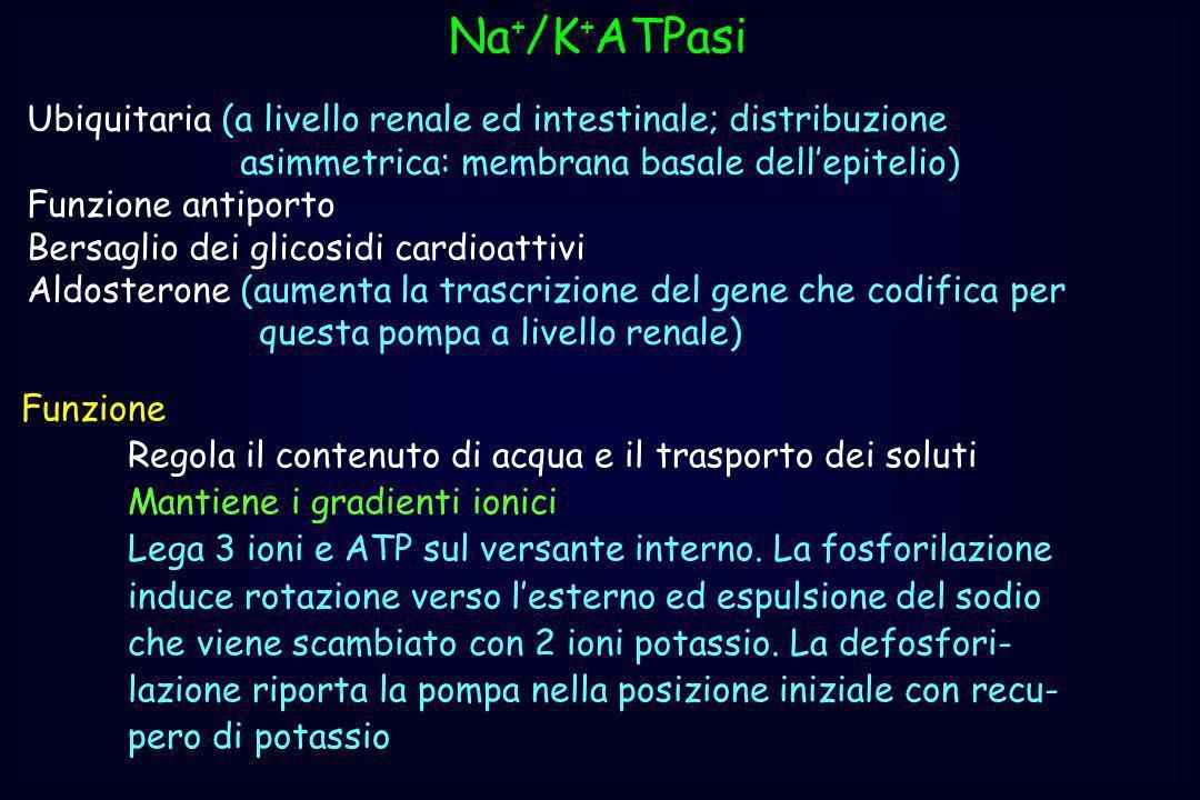Na + /K + ATPasi Ubiquitaria (a livello renale ed intestinale; distribuzione asimmetrica: membrana basale dellepitelio) Funzione antiporto Bersaglio d