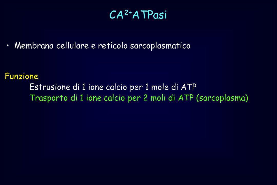CA 2+ ATPasi Membrana cellulare e reticolo sarcoplasmatico Funzione Estrusione di 1 ione calcio per 1 mole di ATP Trasporto di 1 ione calcio per 2 mol
