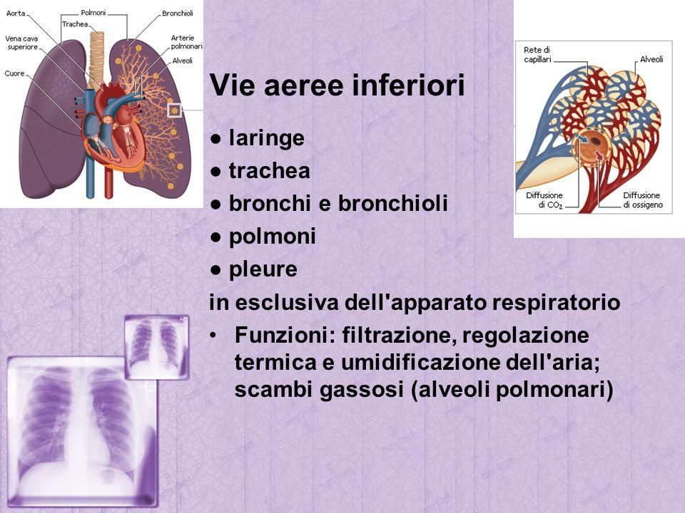 Vie aeree inferiori laringe trachea bronchi e bronchioli polmoni pleure in esclusiva dell'apparato respiratorio Funzioni: filtrazione, regolazione ter