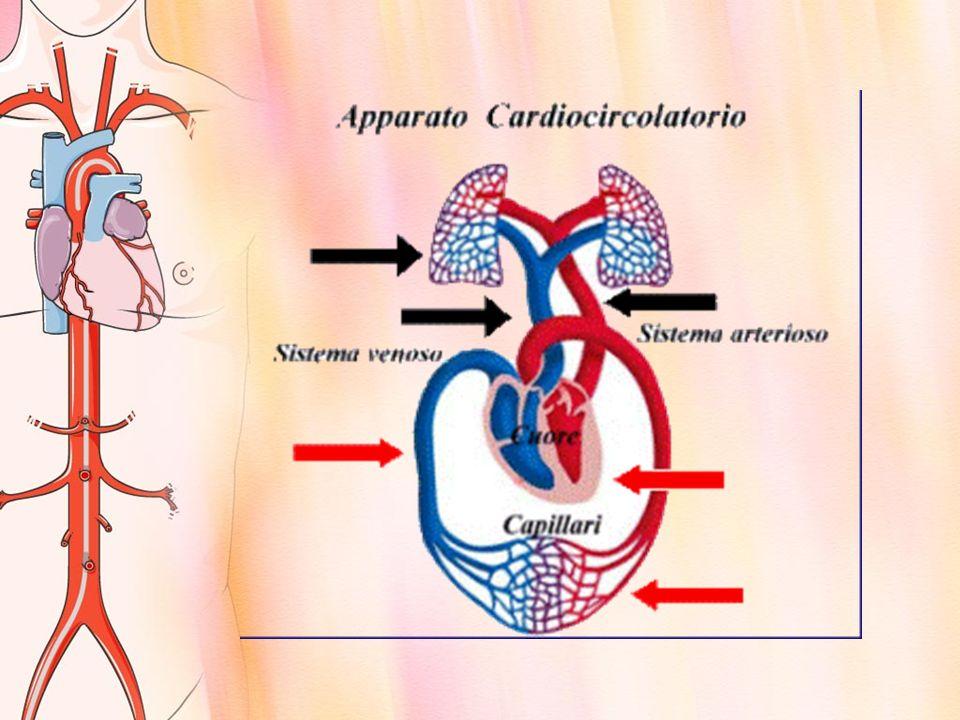 Le arterie della grande circolazione sono poste in profondità, invece le vene sono poste superficialmente e sono quelle che si intravedono attraverso alla pelle.