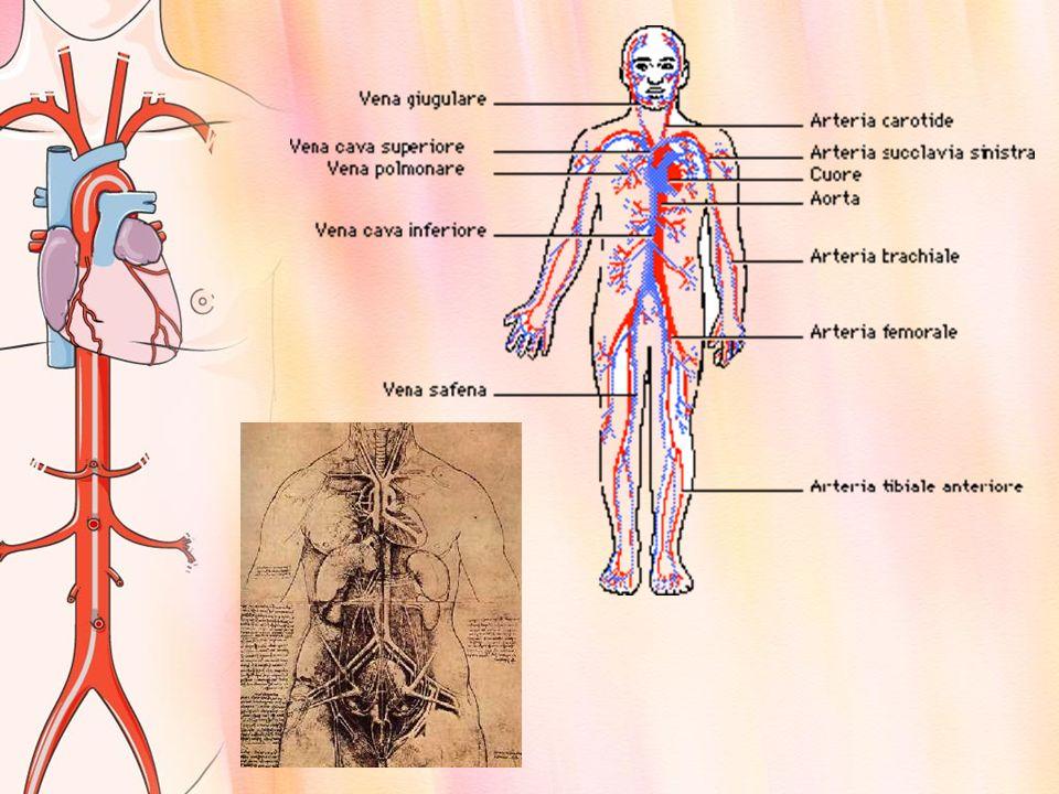 IL SANGUE Il sangue ha il compito di trasportare le sostanze nutrienti e i gas alle varie cellule e di prelevare da esse le sostanze di rifiuto.