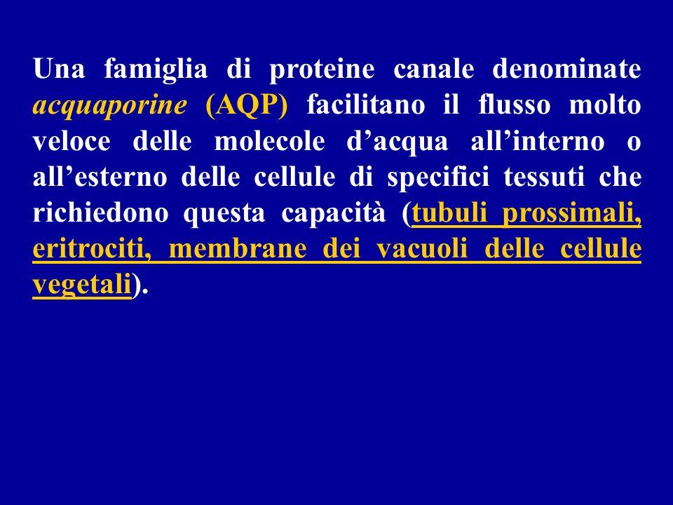 Una famiglia di proteine canale denominate acquaporine (AQP) facilitano il flusso molto veloce delle molecole dacqua allinterno o allesterno delle cel