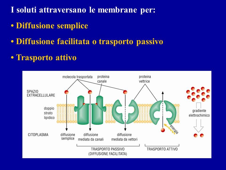 I soluti attraversano le membrane per: Diffusione semplice Diffusione facilitata o trasporto passivo Trasporto attivo