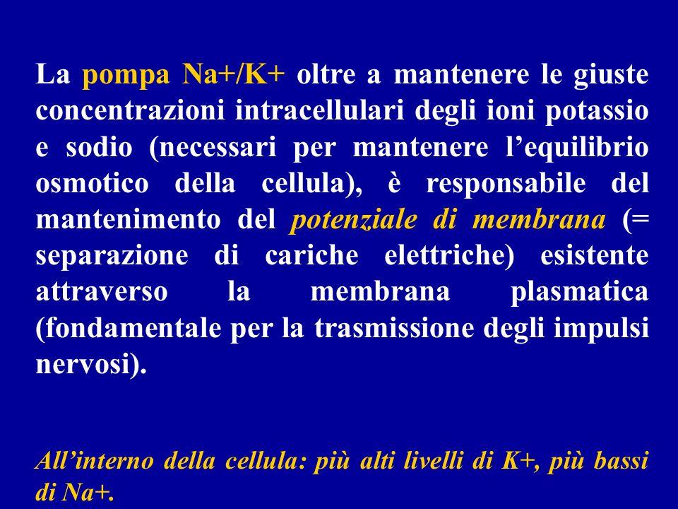 La pompa Na+/K+ oltre a mantenere le giuste concentrazioni intracellulari degli ioni potassio e sodio (necessari per mantenere lequilibrio osmotico de