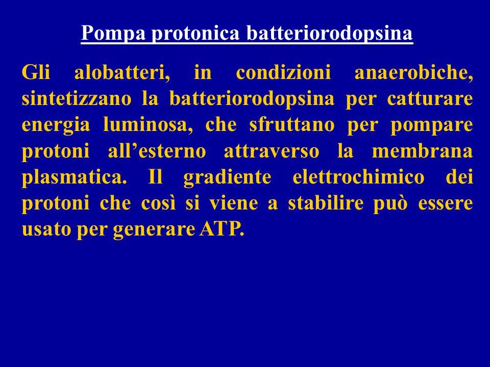 Pompa protonica batteriorodopsina Gli alobatteri, in condizioni anaerobiche, sintetizzano la batteriorodopsina per catturare energia luminosa, che sfr