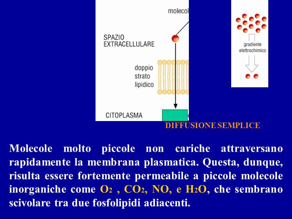 Molecole molto piccole non cariche attraversano rapidamente la membrana plasmatica. Questa, dunque, risulta essere fortemente permeabile a piccole mol