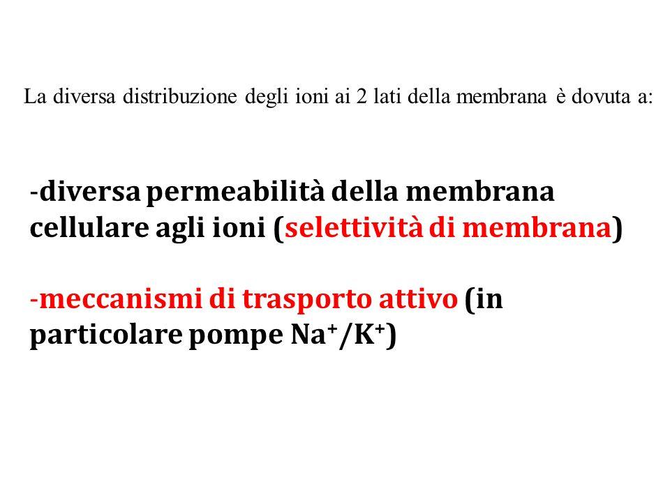 -diversa permeabilità della membrana cellulare agli ioni (selettività di membrana) -meccanismi di trasporto attivo (in particolare pompe Na + /K + ) L