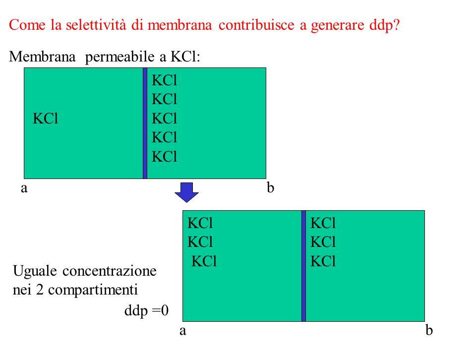Se la membrana è impermeabile allanione A-: KCl KCl KCl KA KA K+ Cl- K+ K+ Cl- A- K+ Cl- K+ Cl- A- K+ = GENESI ddp = potenziale di equilibrio del K+ Gradiente di concentrazione = Gradiente elettrico Blocco flusso K+ Polarizzazione della membrana ab ab