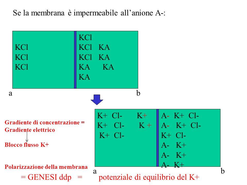 Equazione di Nerst Permette di calcolare il potenziale di equilibrio di uno ione se si conosce la concentrazione nei 2 compartimenti E = 61,5 log 10 [K + a ]/[K + b ] Se [K + a ]=[K + b ] E =0