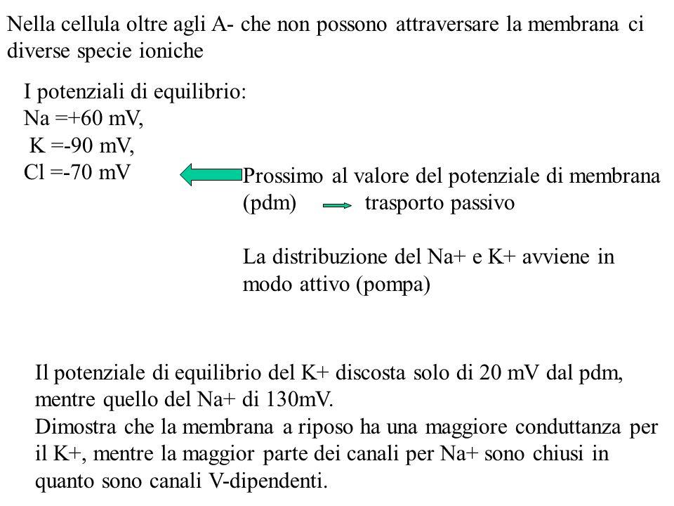 Caratteristiche della membrana responsabili della genesi del potenziale di membrana a riposo: 1)Pompa Na + /K + ATPasi 2)Differente conduttanza agli ioni ( Na + e K + ) 3)Impermeabilità della membrana agli anioni proteici - - - - ++++++++ ddp = -70/-90mV