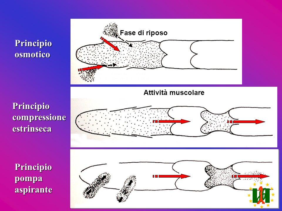 Principioosmotico Principiocompressioneestrinseca Fase di riposo Principiopompaaspirante Attività muscolare