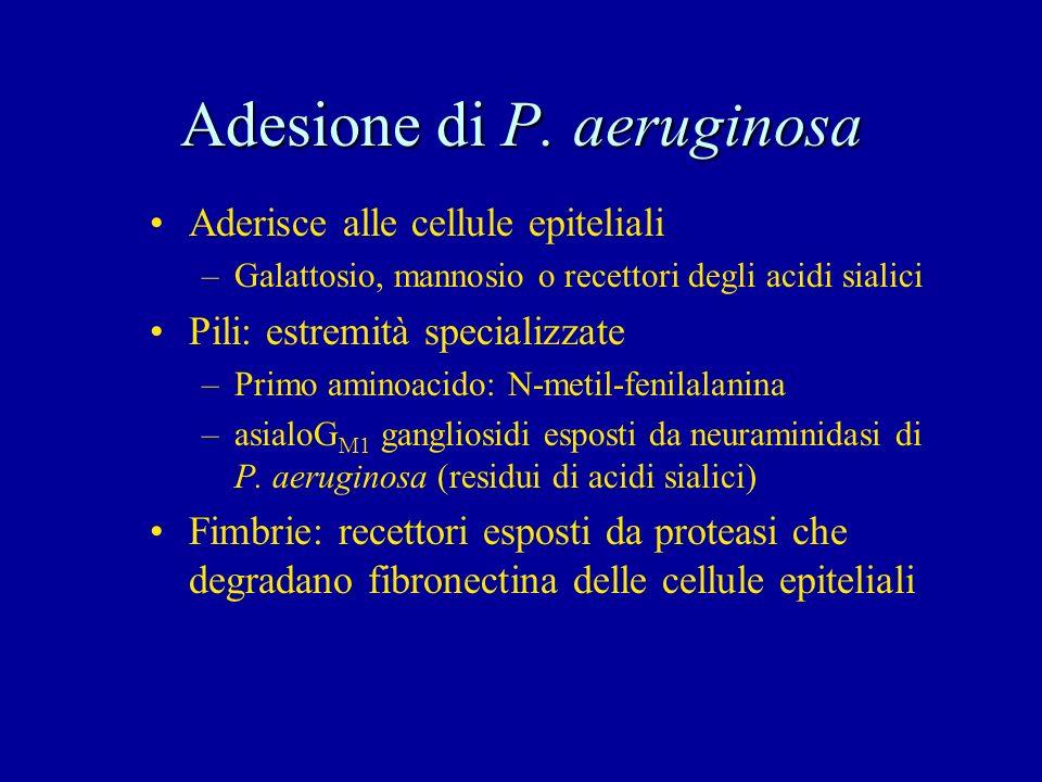 Adesione di P. aeruginosa Aderisce alle cellule epiteliali –Galattosio, mannosio o recettori degli acidi sialici Pili: estremità specializzate –Primo