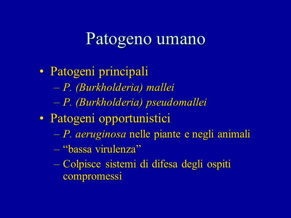 Patogeno umano Patogeni principaliPatogeni principali –P. (Burkholderia) mallei –P. (Burkholderia) pseudomallei Patogeni opportunisticiPatogeni opport