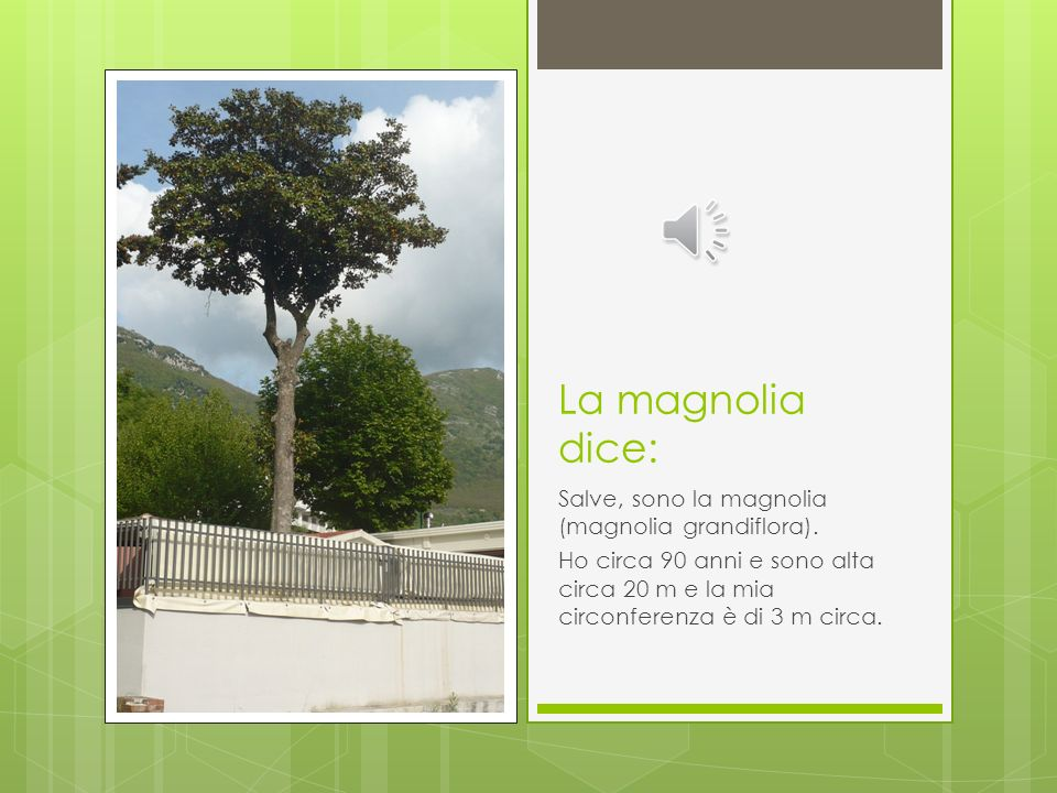 La magnolia dice: Salve, sono la magnolia (magnolia grandiflora).