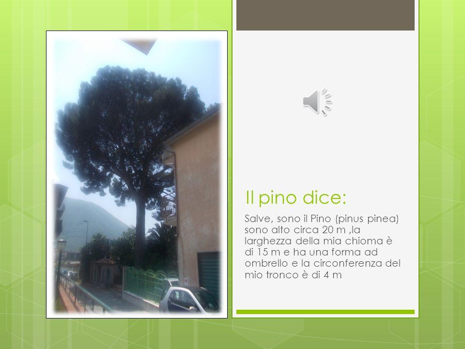 Il pino dice: Salve, sono il Pino (pinus pinea) sono alto circa 20 m,la larghezza della mia chioma è di 15 m e ha una forma ad ombrello e la circonferenza del mio tronco è di 4 m