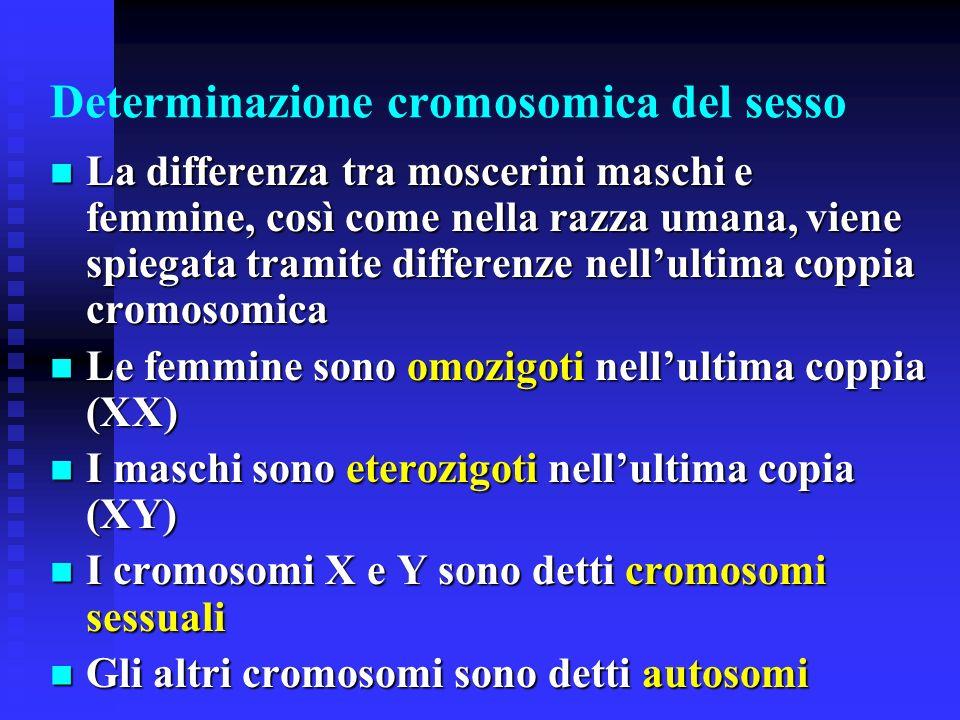 Drosophila melanogaster È i moscerino della frutta È stato lorganismo da più usato dai genetisti moderni per i loro studi La sua versatilità deriva da